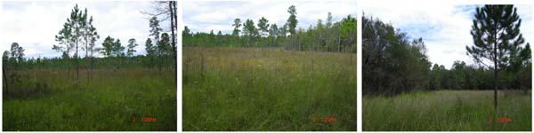 Fig. 1. Longleaf pine savannas_600