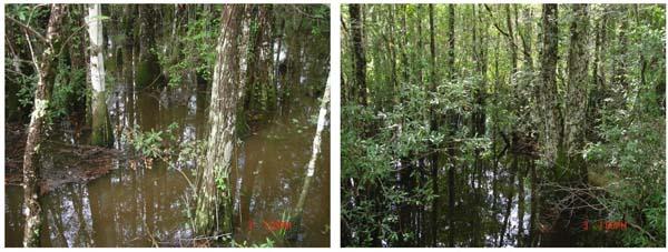 Fig. 2. Bayhead Swamp_600